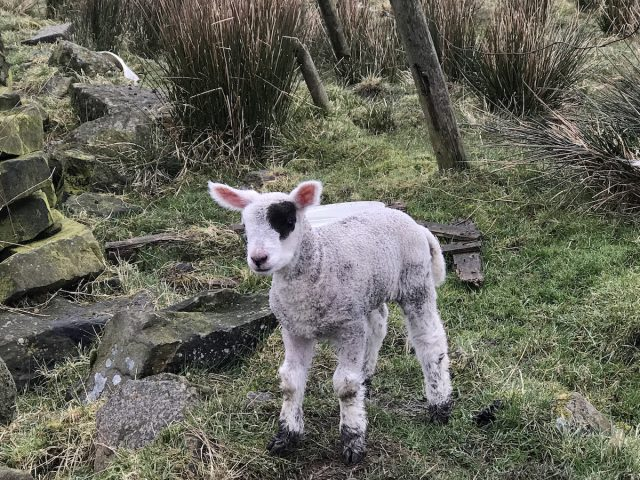 lamb sheep hannah